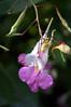 Impatiens balfourii (poor man's orchid)