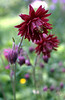 Aquilegia vulgaris 'Ruby Port' (columbine)