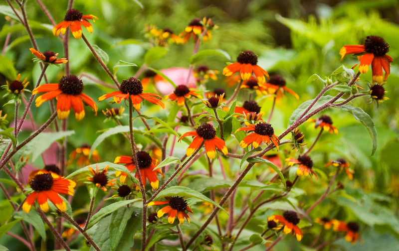 Rudbeckia triloba 'Red Sport' (black-eyed Susan)