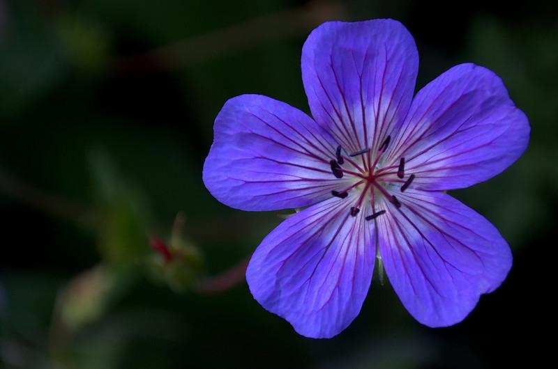 Geranium wallichianum 'Buxton's Blue' (hardy geranium)