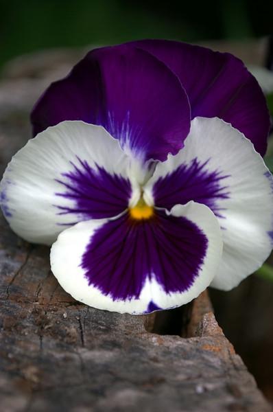 Viola x wittrockiana (pansy)