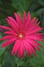 Gerbera jamesonii (Transvaal daisy)