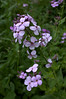 Hesperis matronalis (sweet or dame's rocket)