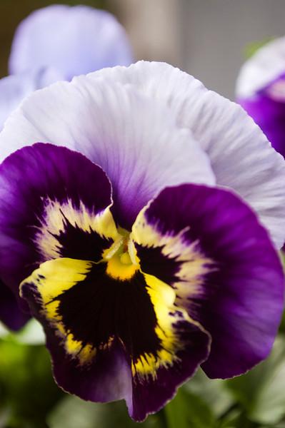 Viola x. wittrockiana. (Pansy)