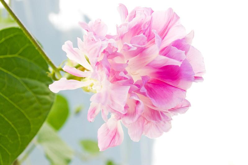 Ipomoea purpurea 'Hige,' pink and white