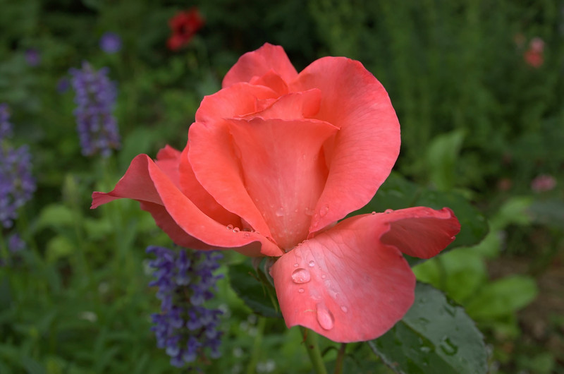 """Rosa 'Touch of Class' with Nepeta nervosa """"Blue Moon"""""""