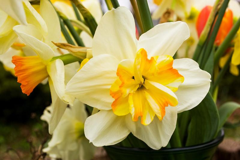 Narcissus (daffodils)