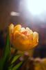 Tulipa (tulip forced indoors)