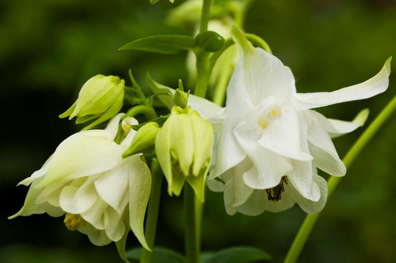 Aquilegia vulgaris (columbine), white