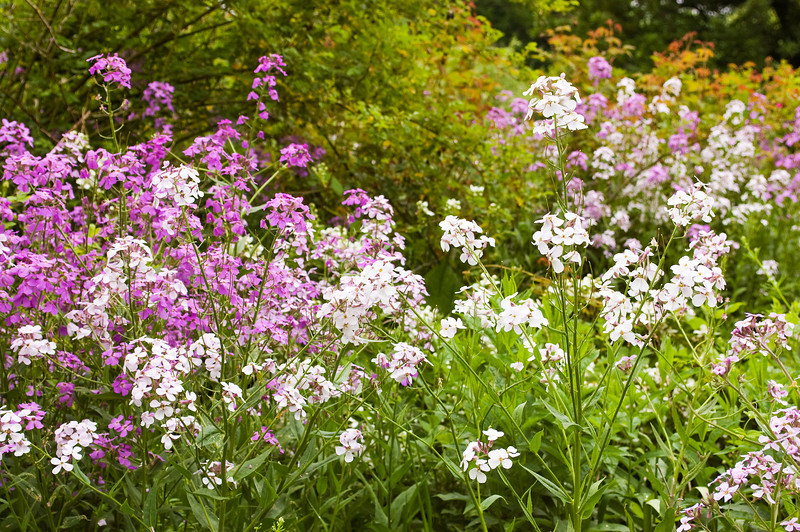 Hesperis matronalis (sweet rocket)