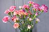 Dianthus caryophyllus (florist carnations)