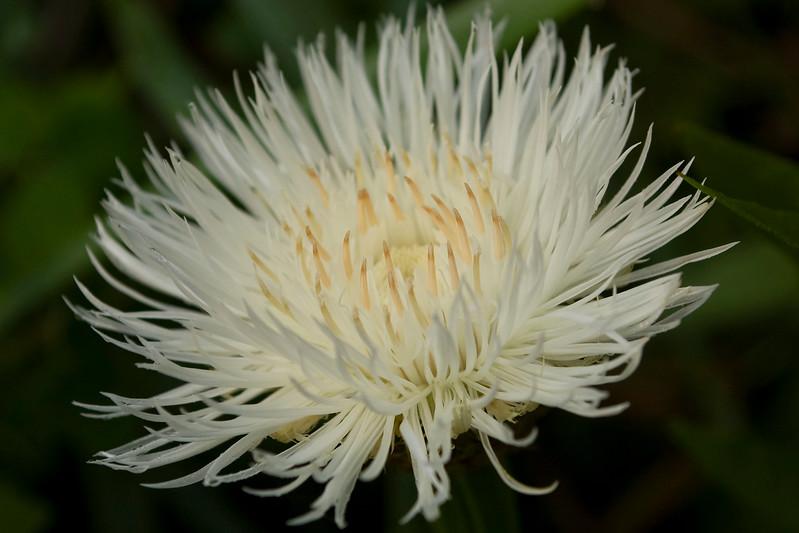 Centaurea americana 'Aloha Blanca'