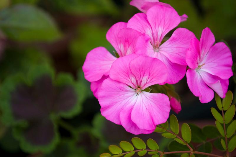 Pelargonium 'Black Magic,' rose (annual geranium)