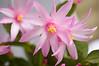 Rhipsalidopsis gaetneri (Easter cactus)