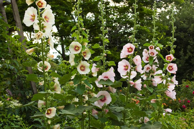 Alcea rosea 'Donkerhart' (hollyhocks)