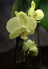 Phalaenopsis, green (moth orchid)
