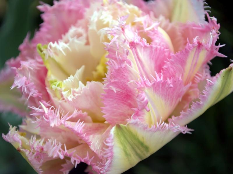Tulipa 'Cool Crystal' (double tulip)