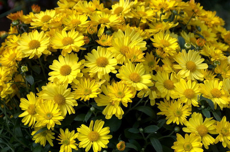 Chrysanthemum (mum), yellow