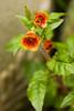 Oenothera tetragona 'Blood Orange' (evening primrose)