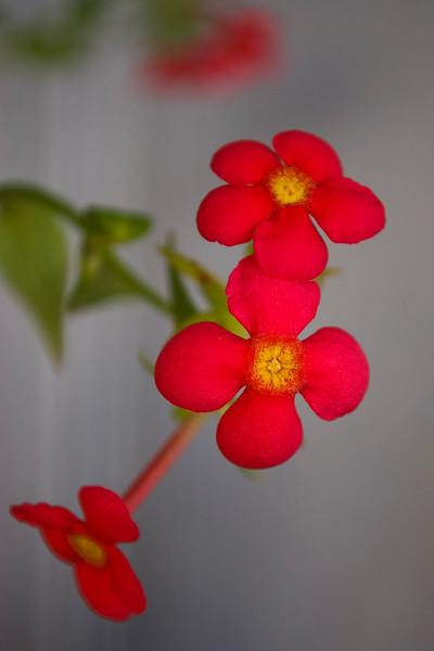 Rondeletia splendens (Panama rose)