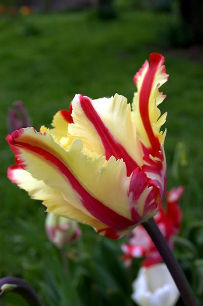 Tulipa 'Flaming Parrot' (parrot tulip)