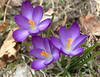 Crocus, purple