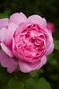 Rosa 'Mary Rose'