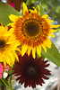 Helianthus annuus 'The Joker' and 'Black Magic' (sunflowers)