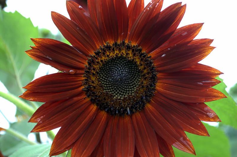 Helianthus annuus 'Chocolate' (sunflower)