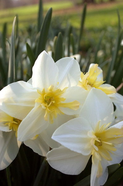 Narcissus 'Apricot Lace'