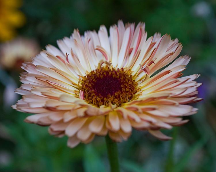 Calendula officinalis 'Sherbet Fizz' (pot marigold)