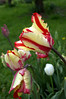 Tulipa 'Flaming Parrot' (tulip)