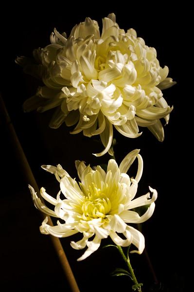 Chrysanthemums, white