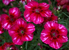 Dianthus (pinks)