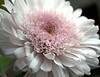 Chrysanthemum 'Cremon' (mum)
