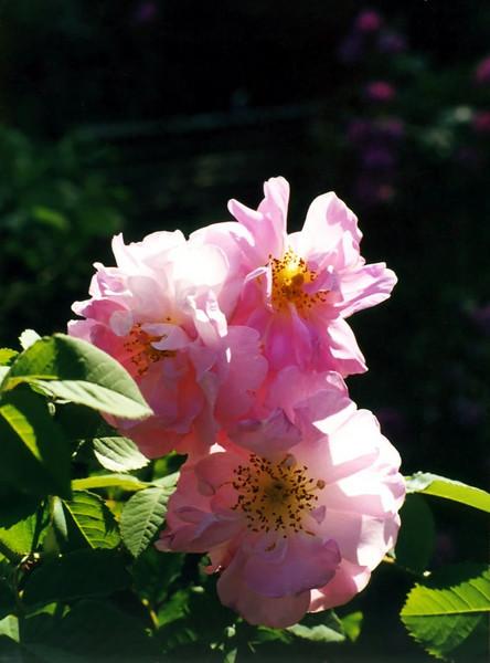 Rosa 'Celsiana' (rose)