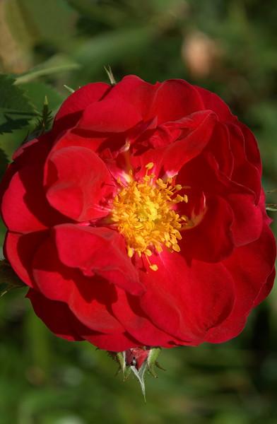 Rosa 'Henry Kelsey'