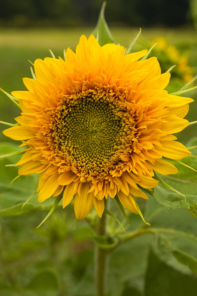 Helianthus annuus, semi-double yellow (sunflower)