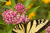 Asclepias incarnata 'Soulmate' (swamp milkweed) with swallowtail butterfly