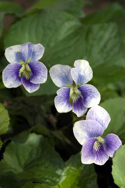 Viola (violets)