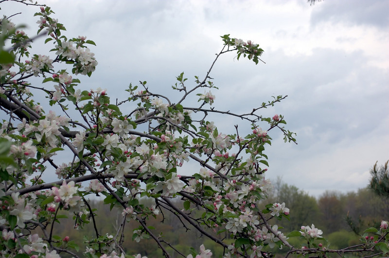 Malus domestica (apple blossoms)