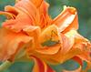 Hemerocallis 'Kwanso' (double daylily)