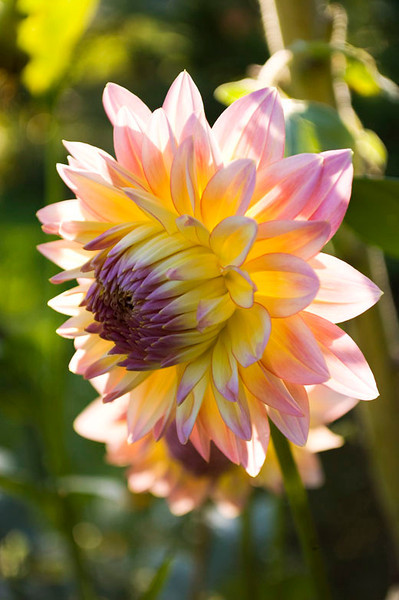 Dahlia, pink and yellow