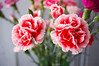 Dianthus caryophyllus (florist carnations), red and white