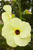 Abelmoschus manihot (sweet hibiscus)