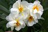 Narcissus (daffodil)