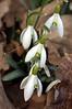 Galanthus nivalis (snowdrop)