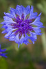 Centaurea cyanus (bachelor's button)