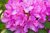 Rhododendron, magenta