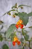 Impatiens capensis (jewelweed or touch-me-not)